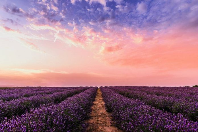 Lavender Fields in Provence South of France